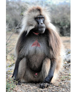 Gelada Baboon Portrait Monkey Wild Animal Natur... - $21.90