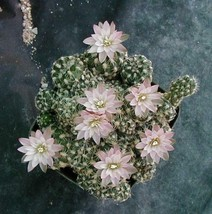 Gymnocalycium bruchii Brilliant Light Pink Flowers Clustering Mini Bodies 1 - $10.84