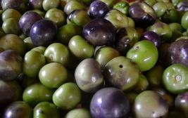 Organic Sweet Purple Tomatillo Heirloom Non-GMO Husk Tomato Vegetable 15... - $12.25
