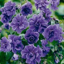 10 Double Purple Geranium Seeds Flowers Perennial Flower Seeds - $15.99