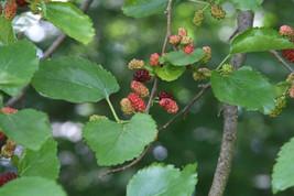 200 Seeds Morus alba, White mulberry Seeds - $9.95