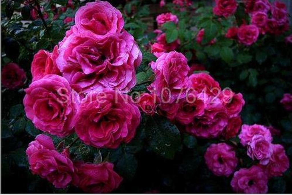 100 Colorful Climbing Roses Seeds Rosebush Rosa multiflora