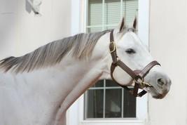 COLOR PHOTO - Stallion- Gainesway Farm- ANCHOR DOWN - $8.00+