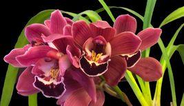 Blooming size Cymbidium KOUSHU TANGO - ruby red orchid - $59.98