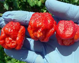 20pcs Trinidad Scorpion Pepper Hottest Chilli Seeds,Delicious Edible IMA1 - $14.99