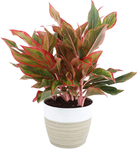 Costa Farms Aglaonema Red Chinese Evergreen Live Indoor Plant, 14-Inches... - $37.72