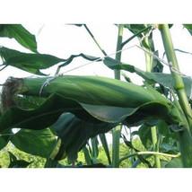 10 Longest Ear Corn Seed-1114 - $3.98