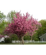 20 Seeds Cercis Canadensis, Eastern Redbud Cold Hardy Flowering - $80.19