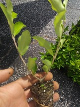Barbados, Acerola Cherry Tree Plant,  3 Plants, Pesticide Free FREE SHIP... - $39.00