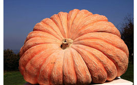 SHIPPED FROM US 10 Pumpkin Dill's Atlantic Giant Cucurbita Maxima Seeds,... - $17.00