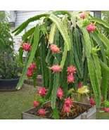 20 Seeds Dragon Fruit Cactus Seeds Hylocereus Undatus Seed - $17.43