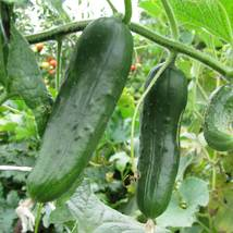 SHIP FROM US SHIP FROM US 2 oz BURPLESS #26 HYBRID CUCUMBER GARDEN SEEDS... - $58.88