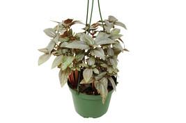 """1 Live Plant - Pilea Ellen 6"""" Pot #HPS13 - $57.99"""