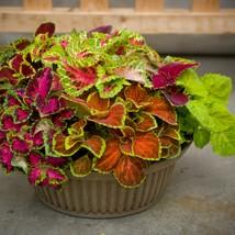 100 Seeds Coleus Seeds Fairway Mix Flower Seeds - Garden Seeds - Outdoor Living - $34.99