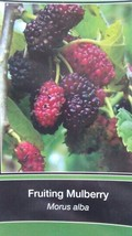 FRUITING MULBERRY 4-6 F Tree live Healthy Plants easy to grow plant tree... - $96.95