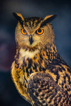 Wooded Owl Portrait Big Bird Intense Regal Predator Digital Art Image Ph... - $2.00
