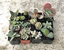 2 in. Fully Rooted Unique Rare Succulent Collection (Pack of 6) image 2