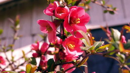 Potted Plants Spitfire Flowering Quince Established Roots 3 Plants - $63.69