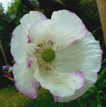 100pcs Very Amazing White Poppy Flowers with little red spots IMA1 - $14.80