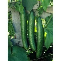 50 Seeds Early Spring burpless Cucumber new seeds  - $7.60