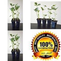 Sparkle Strawberry Plant 4 Pack Fruit Midsummer Outdoor Garden Best Gift... - £15.62 GBP