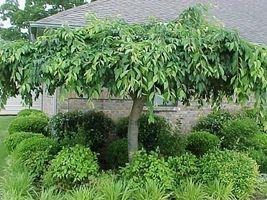 Weeping Cherry Tree  Prunus x yeodensis shidare yoshino image 4