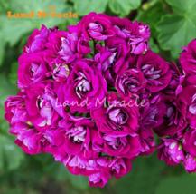 5 SEED Rare Geranium Seeds Appleblossom Rosebud Pelargonium A - $4.65