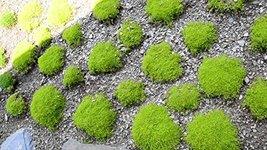 500 Fresh Seeds - Irish Moss Ground Cover - Sagina - Perenial - $12.18