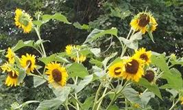 15 Seeds of Helianthus annuus - Yellow Heads with Blackish/Purple - $11.74