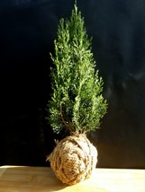 Cupressus Sempervirens Totem - 10 year old - Special for kokedama - $85.44
