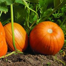 Pumpkin Seeds - Connecticut Field - Gardening -  Outdoor Living - FREE SHIP  - $30.99+