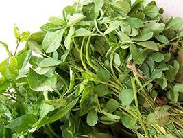 Fenugreek HERB Seeds, Heirloom, 50 Seeds, Healthy and Tasty HERB - $4.49