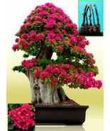 """5 Green Bougainvillea """"Mahara Magic"""" Tree Cutting - $43.21"""
