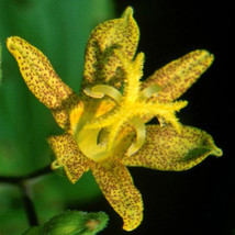 20 Pcs Seeds Early Toad Lily - Tricyrtis - Shade Perennial H001 - $15.99