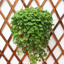 100pcs Dichondra Seed Dichondra Repens Lawn seeds Flower Seeds for Home ... - $4.76