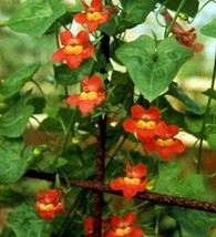 25 Seeds of Asarina Red -Climber Annual Seeds - $27.00