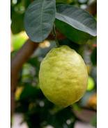 Ponderosa Lemon Citrus Tree Everbearing Grafted 3 Feet Tall 3 gallon - $59.99