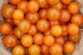 2000 Seeds of Sun Gold Hybrid - Tomatoes Fruited - $272.75