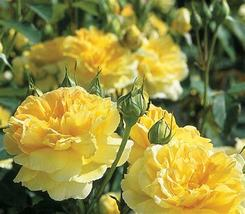Heirloom Yellow Upright Fragrant Tea Rose Shrub Garden Flower Seeds - $13.03