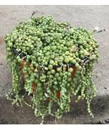 "Live Plant-String of Pearls  Senecio rowleyanus Succulent Rare Large 8"" ... - $37.05"