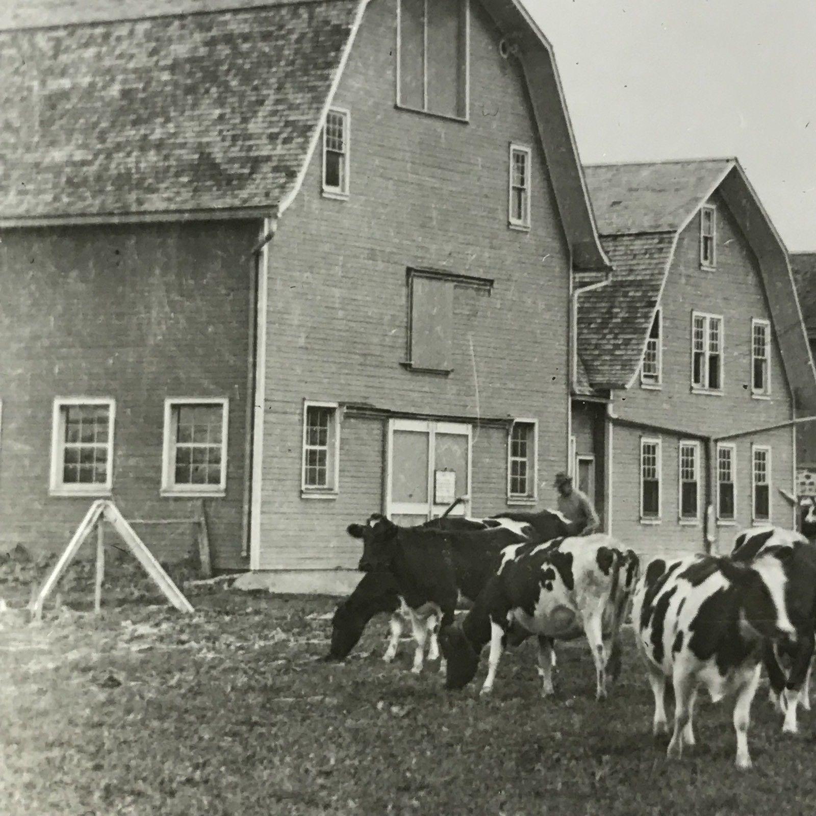 Vtg Keystone Magic Lantern Slide Photo Holstein Cattle Barns Wisconsin