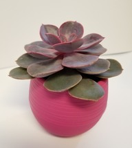 """Live Succulent in Red Self-Watering Pot - Echeveria Red Sky, 3"""" Plastic Planter image 3"""