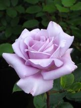 Rose Cuttings (3) of Blue 'Applause' Rose Ready to root Make Your Own Pl... - $3.00