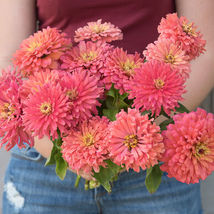 Senora Zinnia Seed, Zinnia Flower Seeds - $21.00