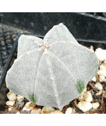 Astrophytum myriostigma Bishop's Cap Spineless Cactus 10 - $13.86