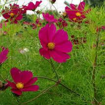 Cosmos Dazzler Seeds Crimson Pink Red Yellow Flower 550 seeds - $10.65