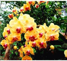 100Pcs/bag Phalaenopsis Yellow Red Orchid Plant Flower Seeds - $8.82