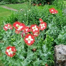 Outdoor Living – Gardening - 1000++ Poppy Seeds - Danish Flag - SBF - $21.95