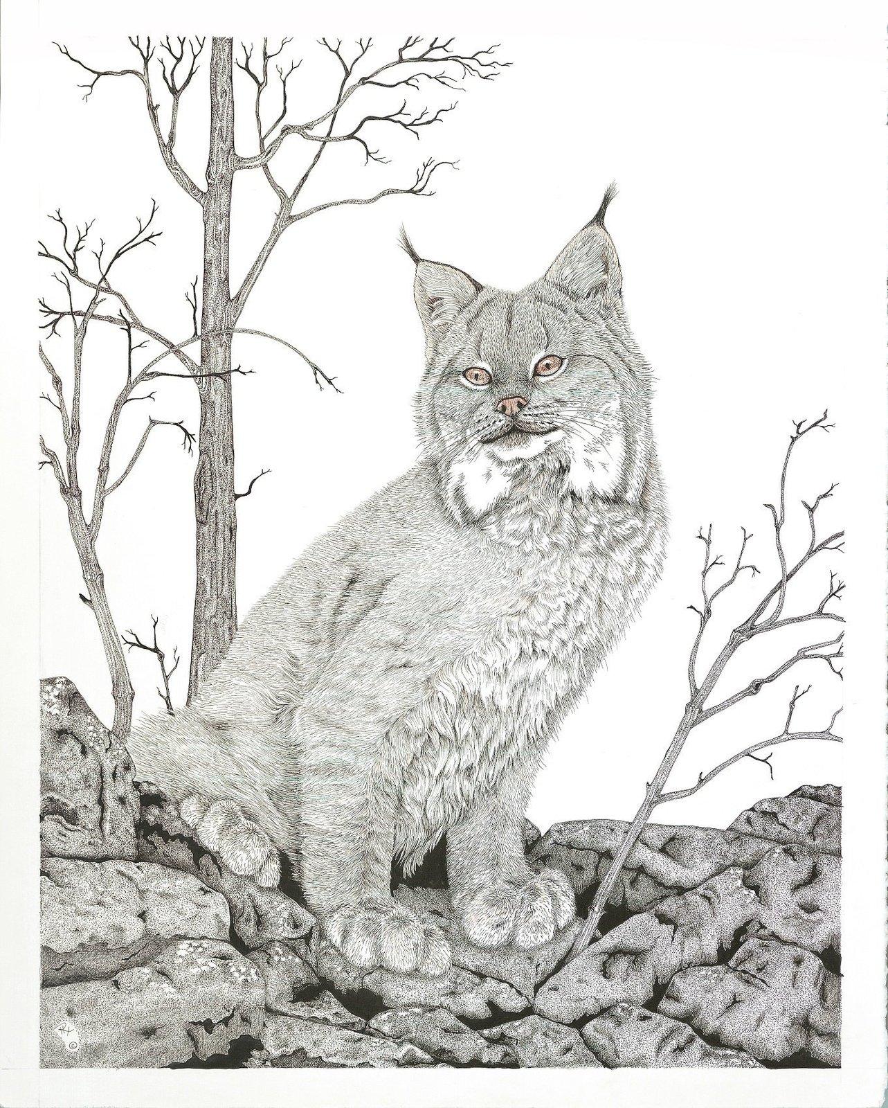 Lynx, Bob Cat, Wild Cat Framed Matted Wildlife Art Print, Pen and Ink, Animal Ar