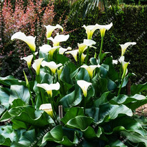 2 Pcs Rare Elegant White Calla Lily Seed Bulbs Wedding Flowers - $6.49